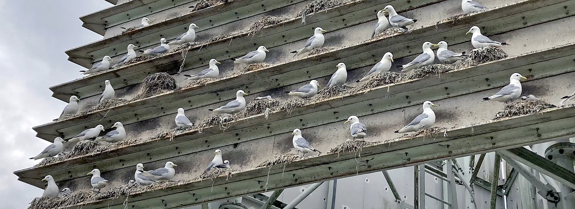 Kittiwakes on the Tower by Andy Rickeard